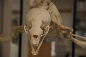 Photo of a dinosaur skeleton